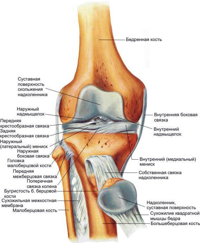Сухожильные и хрящевые структуры коленного сустава