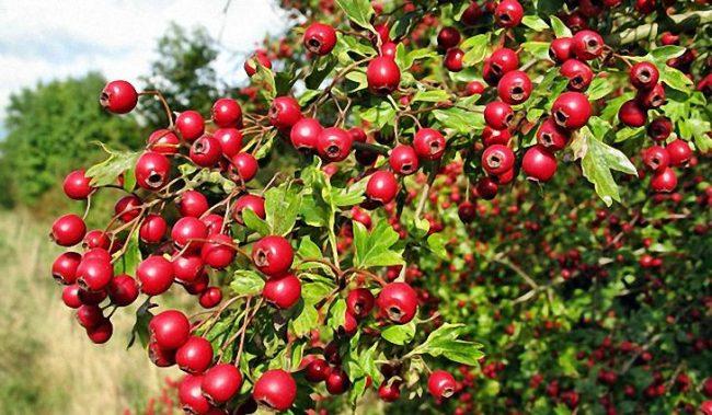 Плоды и цветы боярышника приносят огромную пользу здоровью. Их свойства применяются для профилактики и лечения заболеваний сердца, сосудов и нормализации давления