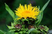 Девясил – лечебные свойства и противопоказания к применению травы, народные рецепты