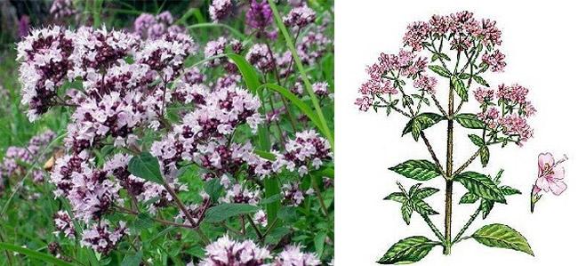 Лекарственное растение – Душица обыкновенная