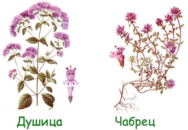 Душица и чабрец - разные растения