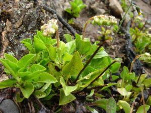 Боровая матка готовиться из растения с одноименным названием, а применять настойку можно как при помощи приема внутрь, так и при помощи спринцеваний