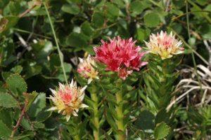 Наряду с боровой маткой используется еще одно растение - красная щётка, которое при комплексом лечении может замедлить развитие патологии