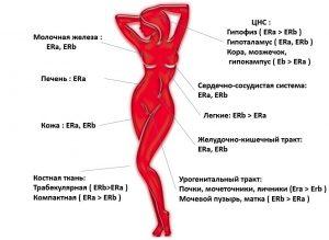 Именно эстрогены отвечают за нормальную роботу таких органов, как молочная железа, гипофиз, печень, кожа, легкие и другие