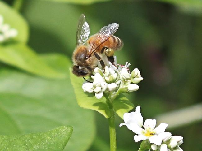 Гречишный мед по-праву считают одним из самых полезных по вкусовым и целебным свойствам