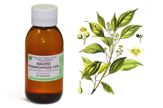 Камфорное масло особенно ценится в медицине, его используют в терапии астмы, эпилепсий, бронхитов, подагры, ревматизмов, артритов, мышечных воспалений, простудных заболеваний и кашля