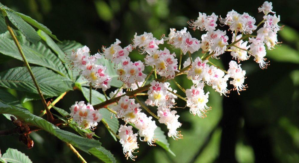 Каштановый мед - уникальный и даже дефицитный продукт, поскольку период цветения каштанов невелик и нужно успеть собрать меда, как можно больше