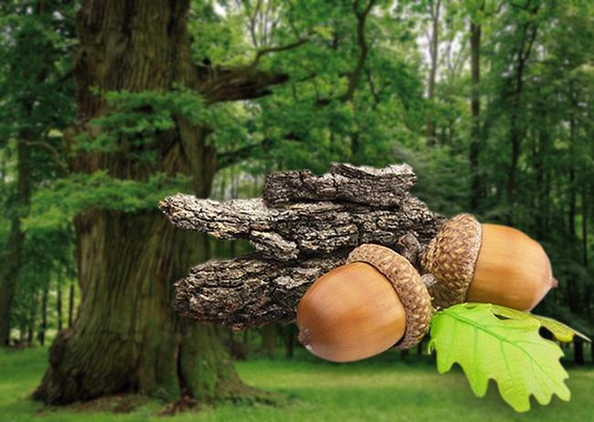 Дуб, растение долгожитель, он растет на прояжении 150 лет и воплощает в себе представление о долголетии и мощи а отвары и настои из коры дуба способны побороть многие болезни