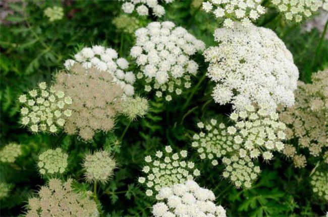 Лечебные свойства любистка обусловлены наличием в его составе эфирного масла, оно придает растению характерный вкус и душистый аромат