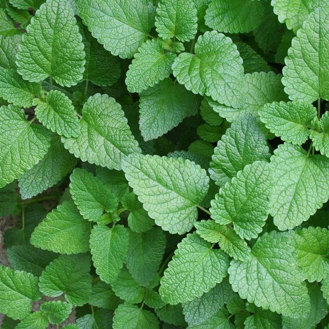 Мелисса - одно из самых ценных лекарственных растений