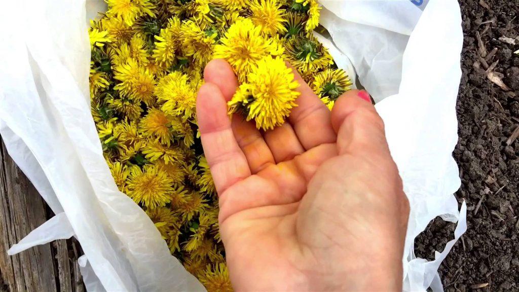 Одуванчик лекарственный (Taraxacum officinale) – всем знакомое многолетнее растение семейства сложноцветных, это одно из самых распространённых в мире растений