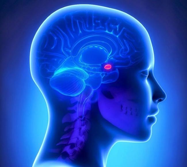 Гипофиз — маленький орган, контролирующий всю эндокринную функцию организма
