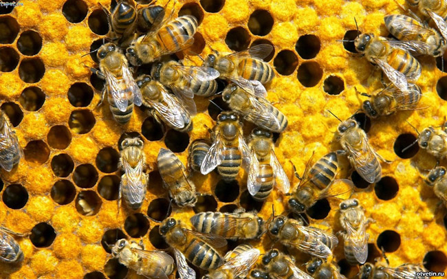 Пчелиная перга - продукт переработки пыльцы