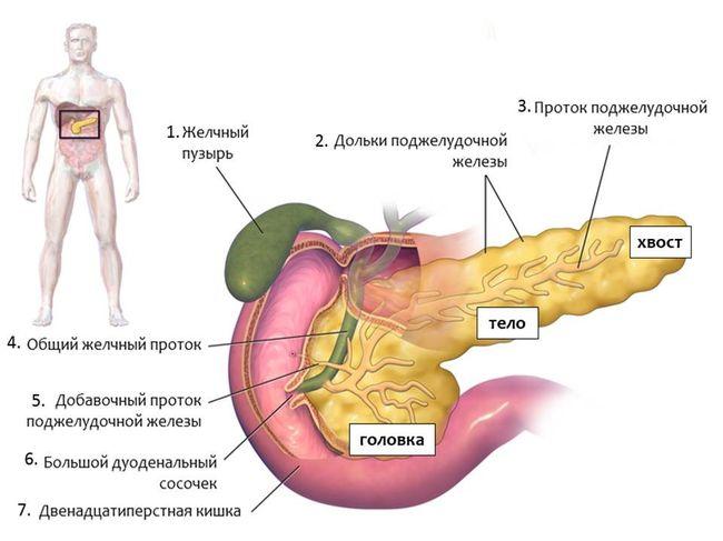 Поджелудочная железа - один из самых главных органов человека