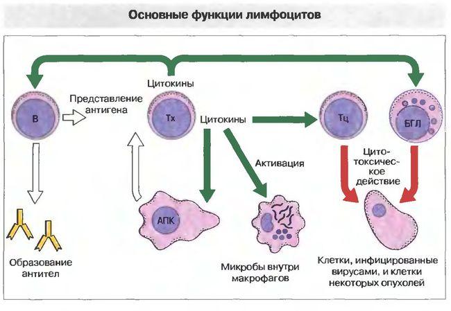Основные функции лимфоцитов
