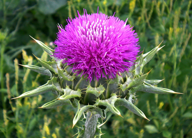 Расторопша - целебное растение используется в народной и официальной медицине. Эффективное и доступное средство для восстановления печени. Находит широкое применение в косметологии, дерматологии, диетологии и других сферах оздоровления организма