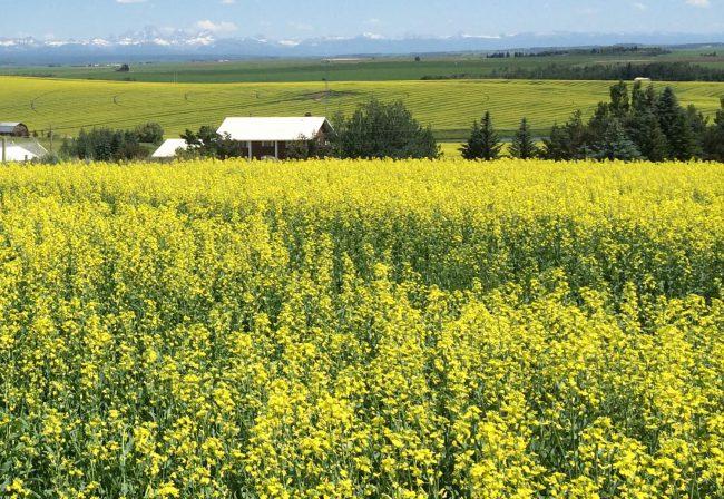 Рыжиковое масло делают из однолетнего растения рыжика посевного путем прессования его семян