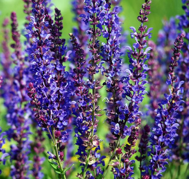 Шалфей лекарственный или сальвия - многолетнее травянистое растение, которое давно и достаточно широко применяется в народной медицине, Гиппократ называл шалфей священной травой и рекомендовал его всем для широкого применения в разных областях