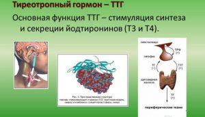ТТГ один из важнейших регулировщиков работы щитовидной железы и совместно с гормонами Т3 и Т4 способствует образованию новых эритроцитов, теплообмену и другим процессам в организме