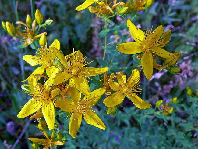 Зверобой - растение высотой до одного метра с желтыми, пестрыми небольшими соцветиями